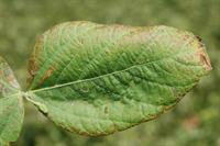 cercospera on soybean leaf