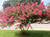 Griffin Weeping Pink crape myrtle