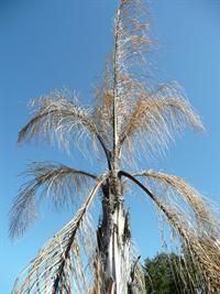 queen palm freeze damage
