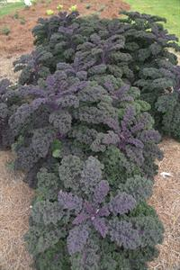 Striking appearance of Redbor Kale