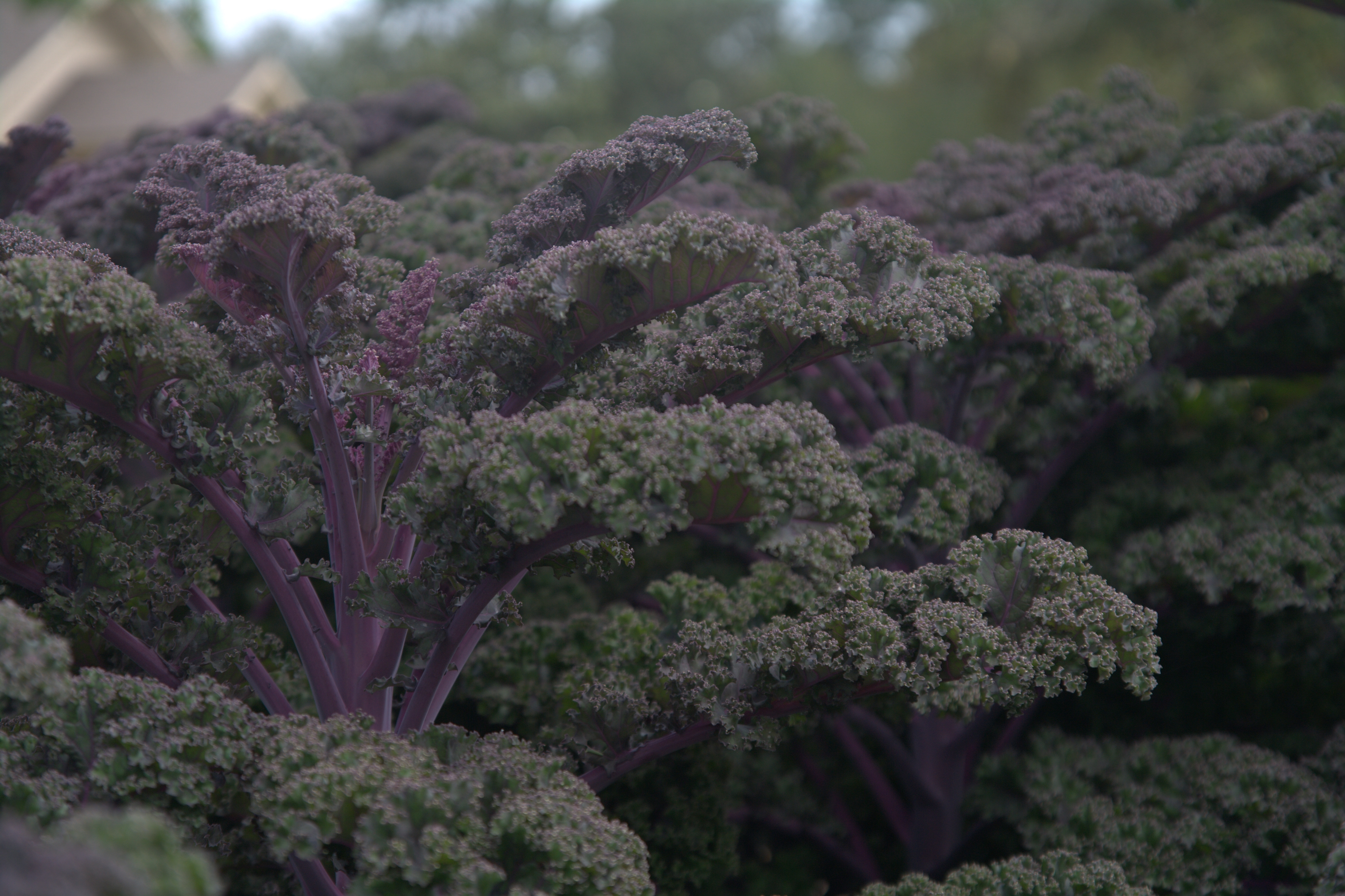 redbor kale louisiana super plant fall 2011 lsu agcenter. Black Bedroom Furniture Sets. Home Design Ideas