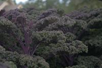 Finely curled foliage of Redbor Kale