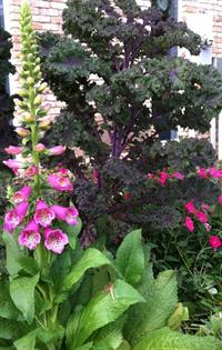 Redbor kale and Camelot foxgloves