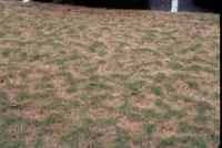 damaged turfgrass