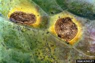 Alternaria leaf spot. Image courtesy of Clemson University - USDA Cooperative Extension.