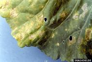 Downey mildew caused by Peronospora parasitica.  Image courtesy of Clemson University.