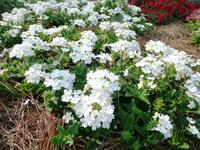 Lanai Blush White verbena