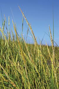 Smooth Cordgrass