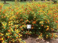 Grantma's Pumpkin Patch lantana