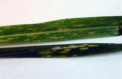 Typical powdery mildew