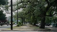 Trees on Esplanade Avenue, New Orleans.