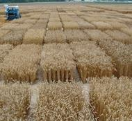 Wheat Plot Harvest