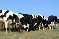 holstein cows grazing on pasture
