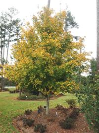 southrn sugar maple