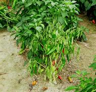 Southern blight of pepper