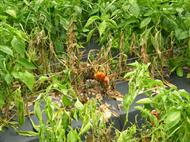 Phytophthora blight on peppers