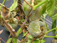 Foliar phase of Phytophthora blight on peppers