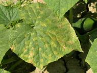 Downy mildew on cucumber