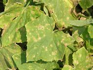 Alternaria leaf blight on cucumber leaves