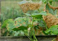 Cucumber anthracnose on leaves