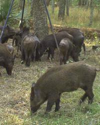 Photo of Feral hogs