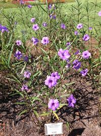 Mayan Purple Mexican petunia