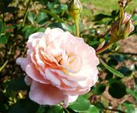 Drift rose apricot