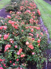Drift rose bush