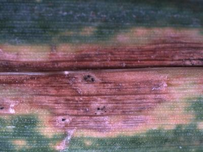 Wheat septoria leaf spot upclose