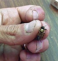 Beekeeper holding a Russian queen bee