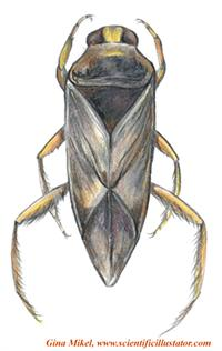 Backswimmer -top view