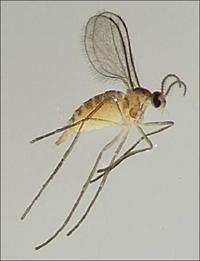 Image of blueberry gall midge. This insect looks like a mosquito.