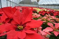 poinsettias at Burden