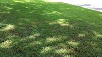 thin lawn in shade