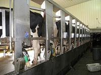 cows in parlor