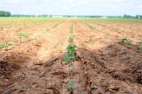 emerging cotton