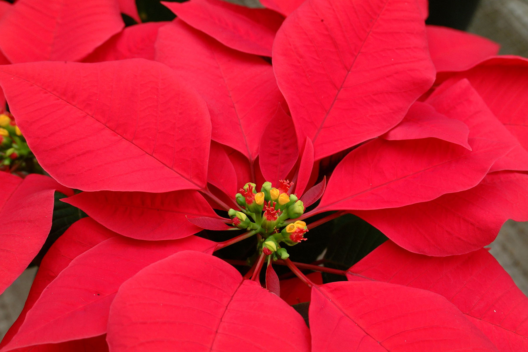 Poinsettia at the LSU AgCenter Botanic Gardens at Burden. (Photo by ...
