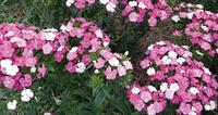 The best of new dianthus