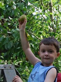 boy picking pear