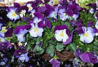 Cool wave pansies