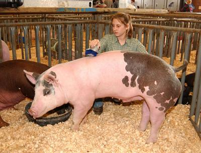 girl brushing show pig