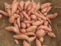 Freshly harvested sweet potatoes