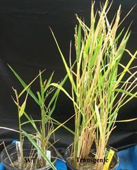 Recovered rice plants that were subjected to salinity stress at seedling stage. WT (left) and transgenic (right) plants showing differences in height and seed set.