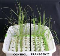 Transgenic rice plants (right) with salt-induced gene from Spartina alterniflora showing tolerance against salt stress while WT control plants show susceptible symptoms.
