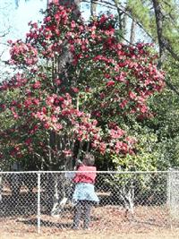 Visitor with towering camellia shrub