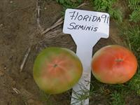 Florida 91 Hot Set Tomato Variety