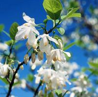 american snowbell flowers