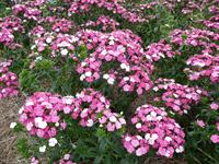 Amazon Dianthus Rose Magic
