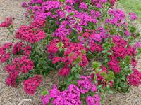 Amazon Dianthus Neon Duo