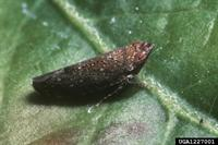 Image of a leafhopper